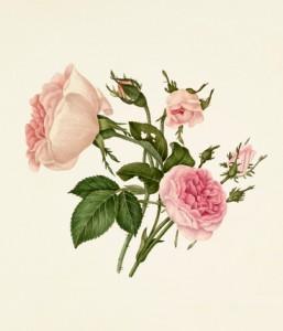 Rosa damascena 'Bella Donna', Rosa 'Mignon'