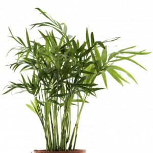 Bamboo-Palm-400x399