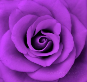 Purple-Rose-08