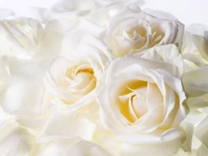rosas_brancas